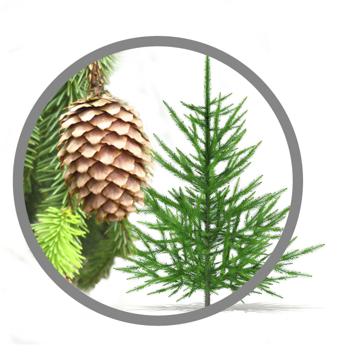 PICEA ABIES EXTRACT